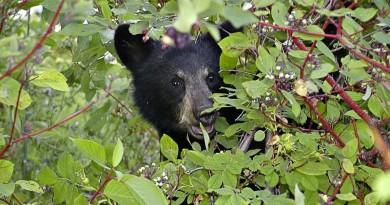 無人機出沒注意?!野生黑熊隨時被嚇壞了