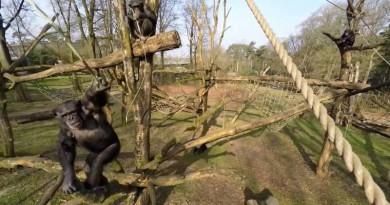 這隻猩猩見到無人機飛近後,其舉動絕對叫你意想不到!