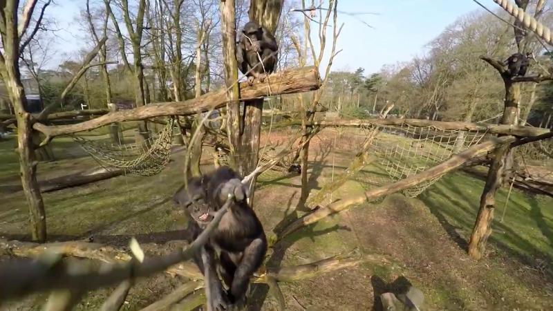 黑猩猩 Tushi 手執 180 厘米柳枝