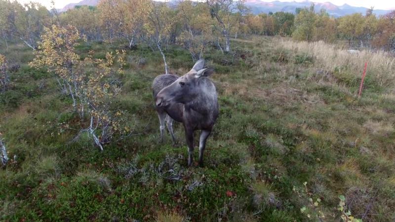 麋鹿發現航拍機