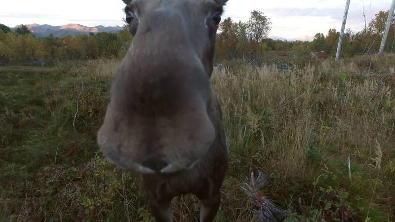 麋鹿接近鏡頭