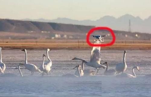 疑似 DJI Phantom 空拍機飛入青海湖在天鵝群上空向右飛。