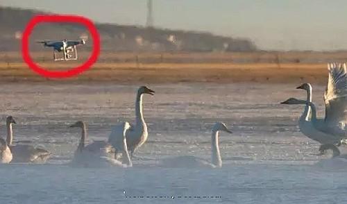 疑似 DJI Phantom 空拍機飛入青海湖在天鵝群上空向左飛。