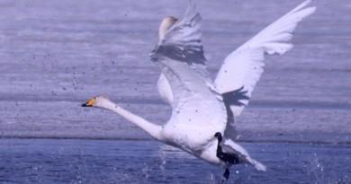 空拍機驚擾天鵝!青海湖全面禁飛無人機