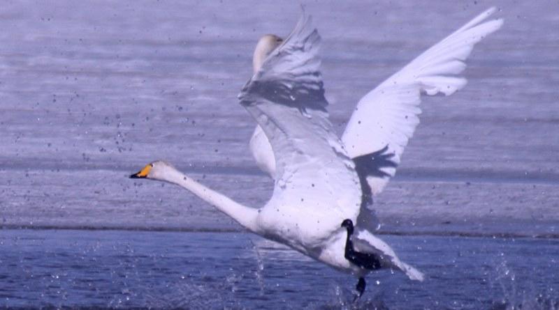 青海湖禁飛無人機,保護鵝群生態