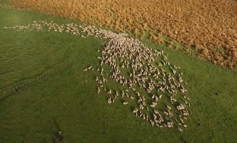 空拍羊群心理造成的瘋狂構圖,令人驚嘆。