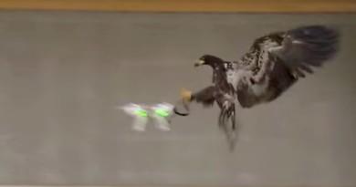 黑鷹空擒無人機!荷蘭警訓練猛禽抓捕違法航拍機