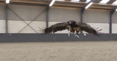 英國警方欲仿傚荷蘭警 訓練老鷹捕獵違法無人機