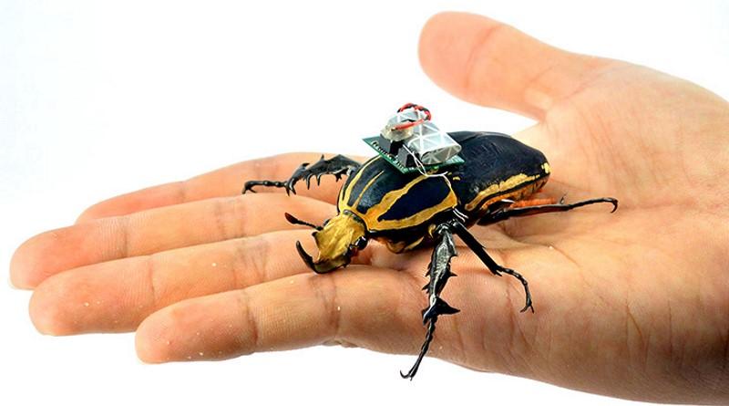 經改造為生物無人機的甲蟲,事後仍可生存 5 至 6 個月。
