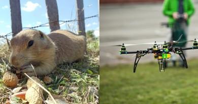 土撥鼠快生病了,美國派出無人機為牠們送藥