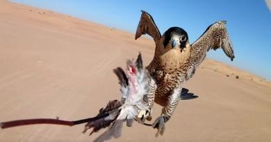 天空皇者爭霸戰!杜拜獵隼 vs 定翼無人機