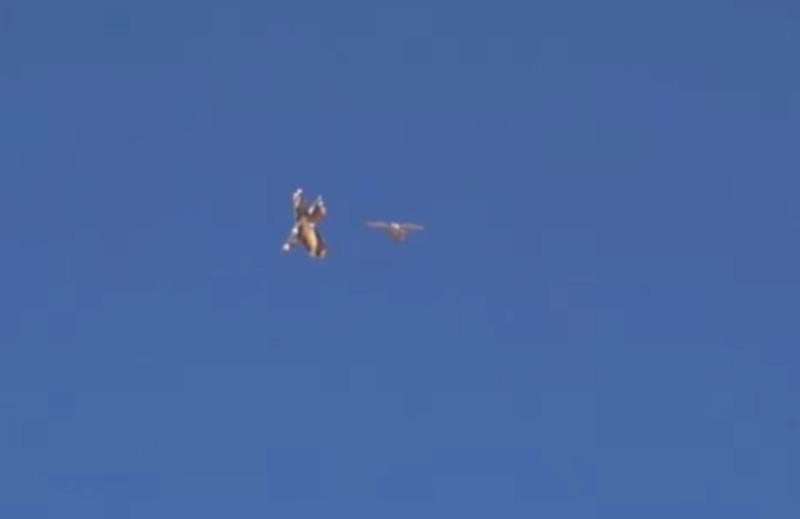 無人機(左)與隼(右)在天空中追逐。