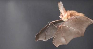 蝙蝠大耳朵助空中懸停!啟發無人機革新航空動力技術