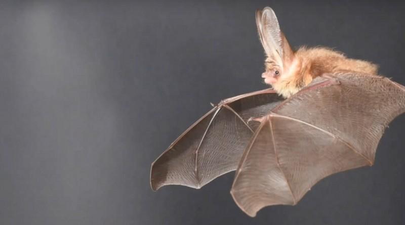 蝙蝠大耳朵 啟發無人機革新航空動力技術