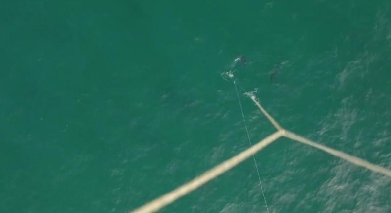 無人機拍下吞拿魚上釣掙扎的過程。