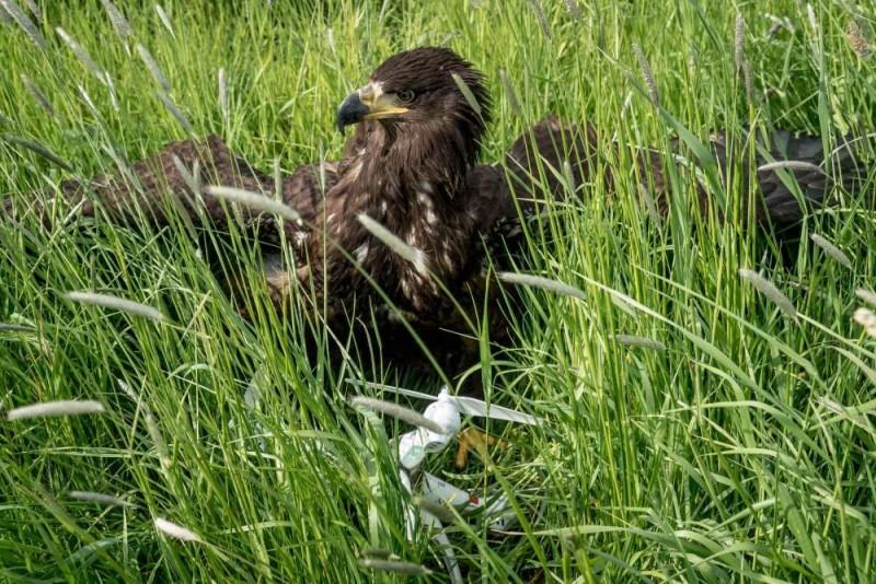 荷蘭獵鷹捕捉無人機(翻攝自《紐約時報》)
