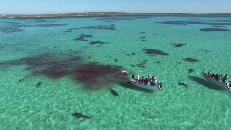 旅行團意外航拍到鯊魚分屍鯨魚的血腥場面。