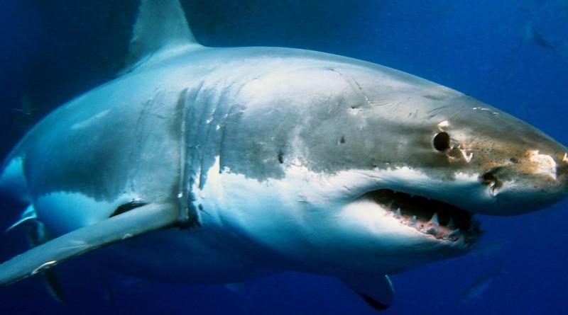 鯊魚 航拍 鯨魚 分屍 澳洲