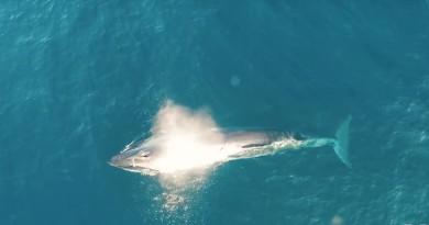 紐西蘭海上科研航拍驚喜 罕見布氏鯨魚覓食全過程