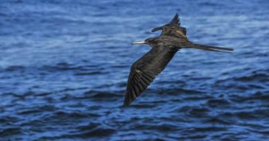 無人機最新偷師對象!科學家探究軍艦鳥 1,000 小時續航奧秘
