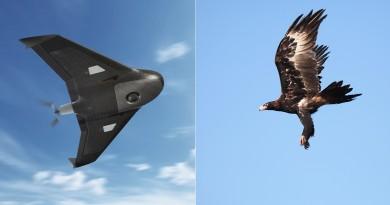 老鷹躍居無人機頭號殺手!澳洲金礦 9 台定翼機全被楔尾鷹擊落了