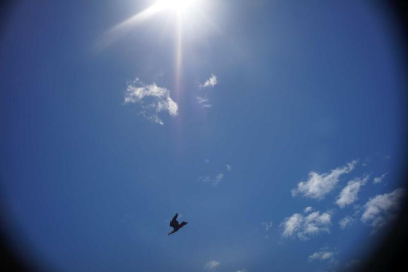 楔尾鷹襲擊無人機(Rick Steven 照片)