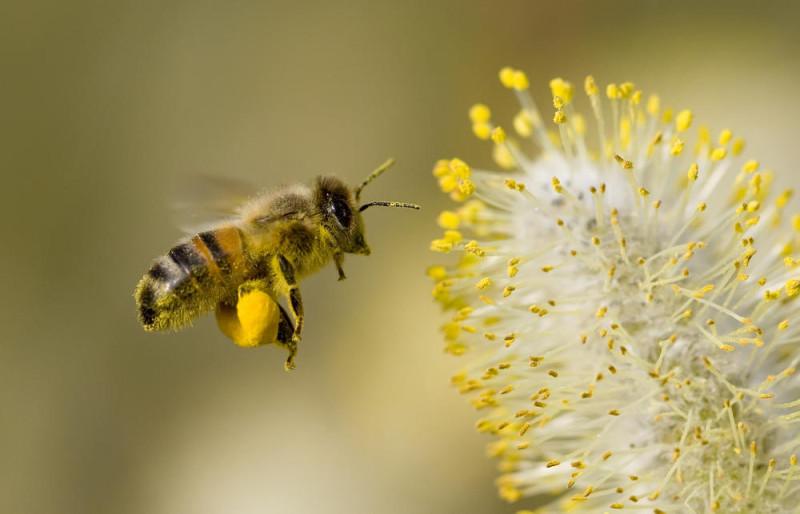 蜜蜂提取花粉