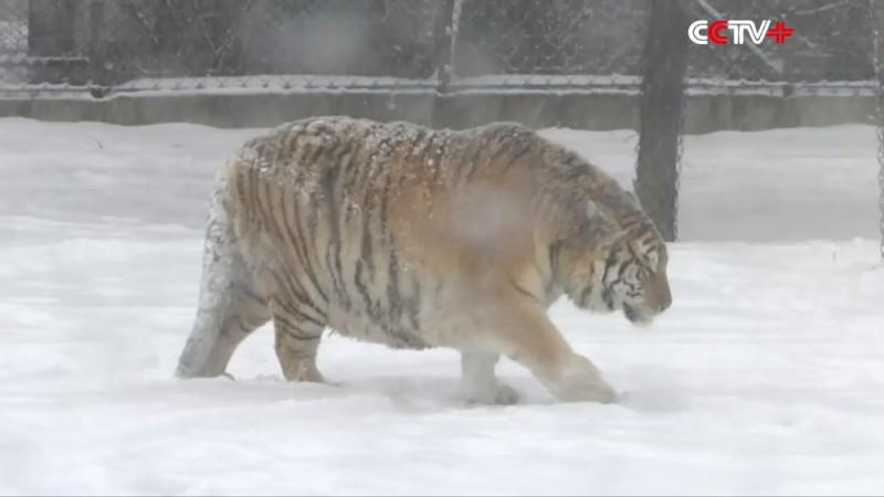 疑似中國老虎農場內的東北虎 - 胖虎