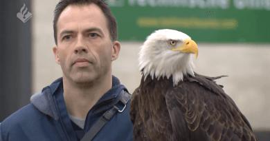 荷蘭警方僱老鷹擒無人機 一年後「羽毛警官」被禠奪徽章